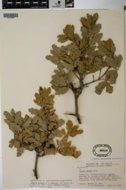 Quercus pauciloba image