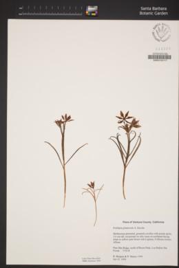 Fritillaria pinetorum image