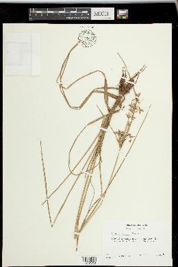 Image of Cyperus dentatus