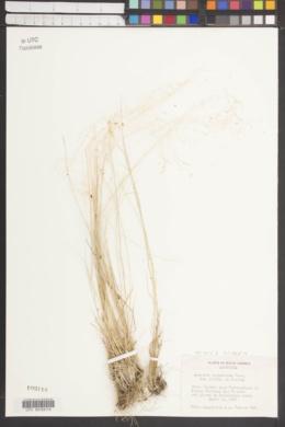 Agrostis Leptotricha image