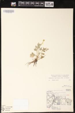Ranunculus fascicularis image
