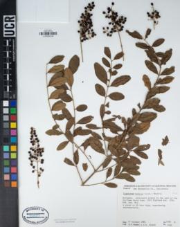 Image of Ligustrum indicum