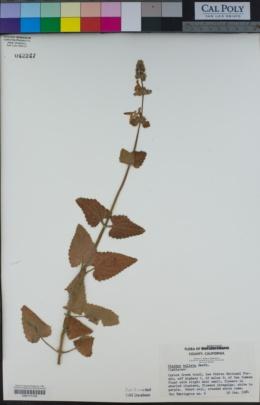 Stachys bullata image