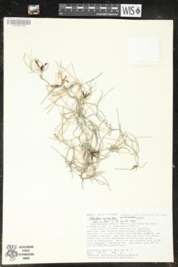 Tillandsia usneoides image