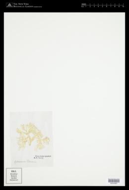 Titanophora pikeana image