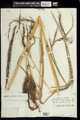 Echinochloa holciformis image