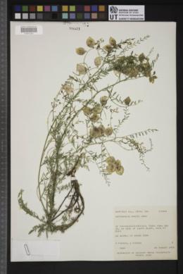 Astragalus wardii image