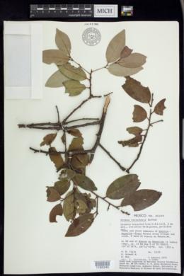 Image of Prunus tetradenia