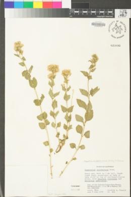 Ageratina occidentalis image