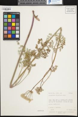 Image of Ligusticum filicinum