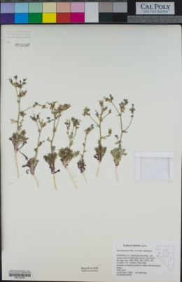 Gilia brecciarum image