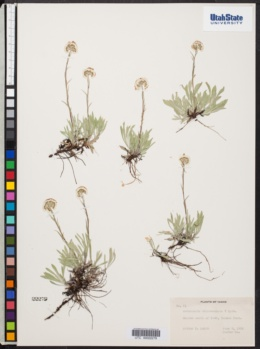 Image of Antennaria oblanceolata
