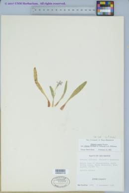 Primula rusbyi image