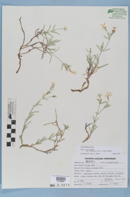 Phlox speciosa subsp. woodhousei image