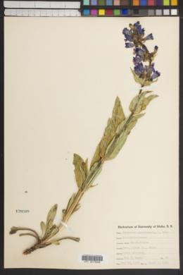 Penstemon payettensis image