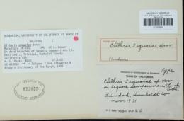 Clithris sequoiae image