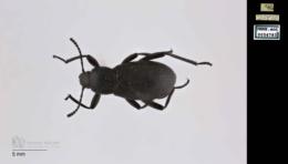 Eleodes carbonarius image