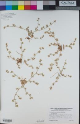 Chorizanthe uniaristata image