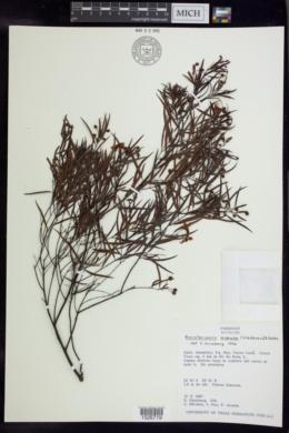 Banisteriopsis acerosa image