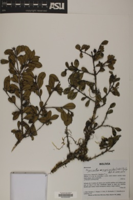 Myrcianthes myrsinoides image