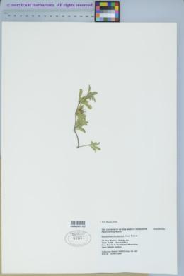 Dyschoriste schiedeana image