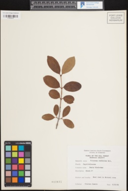 Viburnum rufidulum image