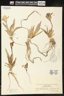 Iris pumila image