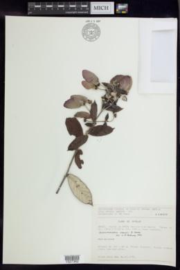 Banisteriopsis harleyi image