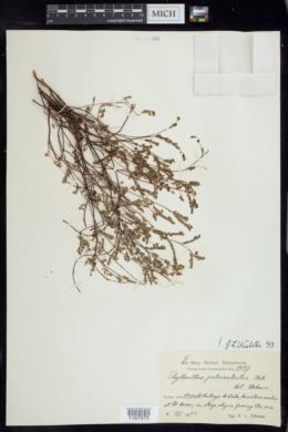 Image of Phyllanthus pulverulentus