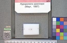 Hypoponera opaciceps image