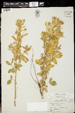 Image of Trigonella coerulescens