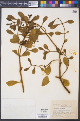 Phoradendron serotinum subsp. macrophyllum image