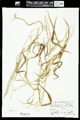 Digitaria sanguinalis image