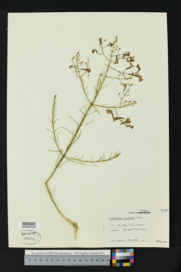 Penstemon thurberi image
