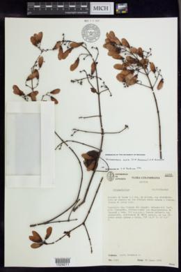 Image of Heteropterys alata