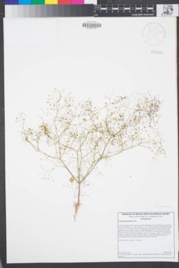 Image of Eriogonum thomasii