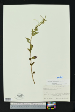 Epilobium saximontanum image