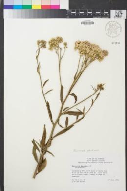 Image of Baccharis glutinosa