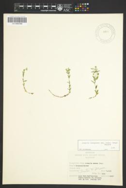 Arenaria lanuginosa subsp. saxosa image