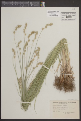 Image of Carex argyrantha