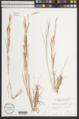Image of Schizachyrium malacostachyum