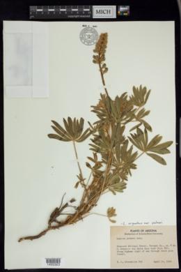 Lupinus palmeri image