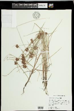 Image of Cyperus sanguinolentus