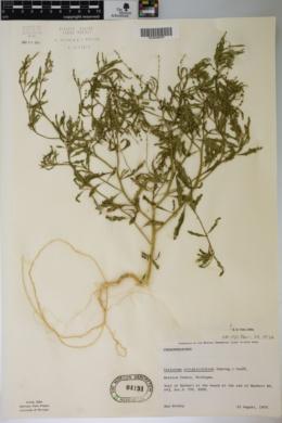 Cycloloma atriplicifolium image