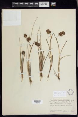 Juncus phaeocephalus var. phaeocephalus image