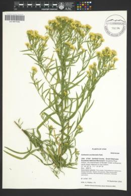 Euthamia occidentalis image