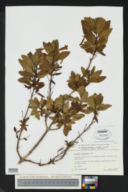 Image of Diplacus parviflorus