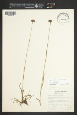 Juncus longistylis var. longistylis image