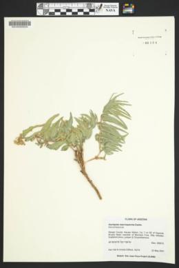 Asclepias macrosperma image