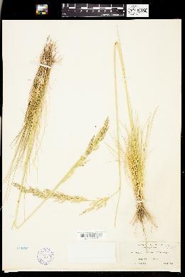 Deschampsia holciformis image